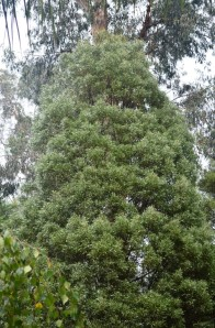 An Acacia melanoxylon or Blackwood tree which I planted in Melbourne.