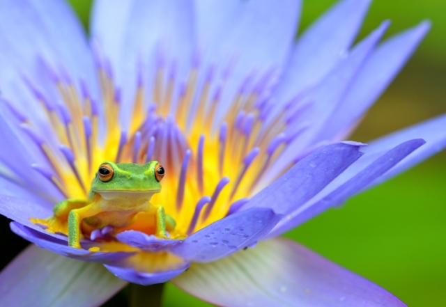 Dainty Treefrog litoria gracilenta in Nymphaea caerulea flower. Photo: David Clode
