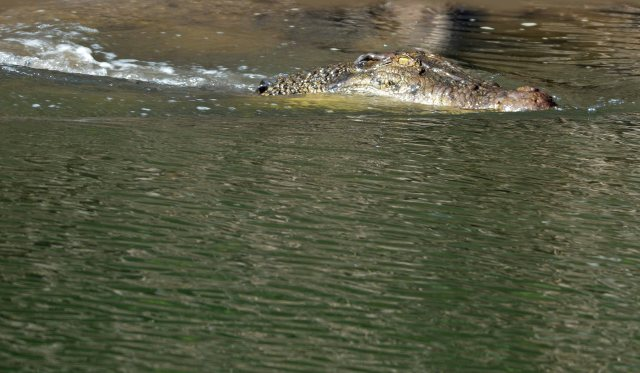 A four metre long estuarine crocodile enters the water, and then disappears underwater. Dixon Inlet, Port Douglas, Australia. Photo: David Clode.