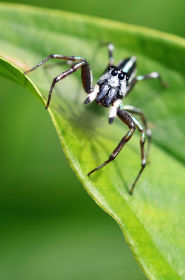 Australian Jumping Spider.