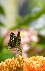 A Green-spotted Triangle butterfly visits an Ixora flower for nectar. Photo: David Clode.