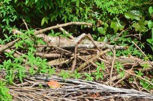 Piles of rocks, logs, palm fronds, provide habitat.