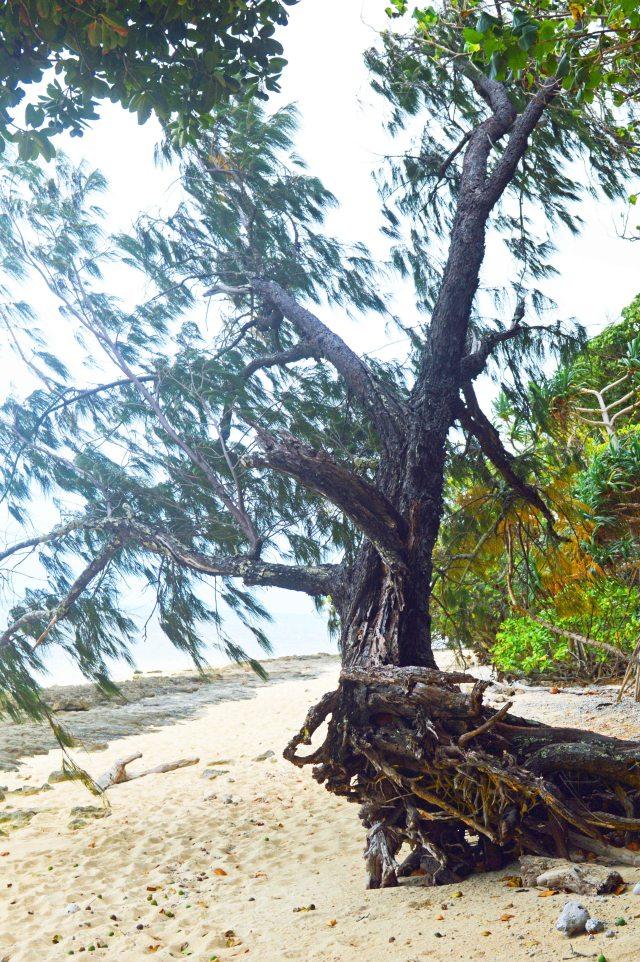 Casuarina equisetifolia, Green Island.