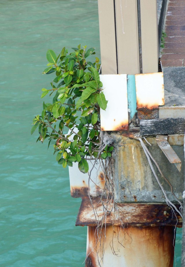 Two species of fig growing on a pylon on the jetty at Green Island, cairns. Photo: David Clode