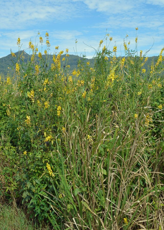 Guinea grass and crotalaria growing together. A combination such as this could produce fodder, mulch or material for compost.