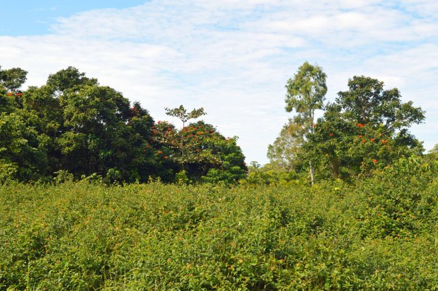 In wet tropical areas around the world, vast areas are covered in weeds such as lantana pictured above, or blady grass. These areas need reforestation on a grand scale.