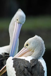 Pelican time out. Freshwater lake, Cairns. Photo: David Clode.