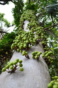Fruiting figtree, Ficus variegata. Cairns.