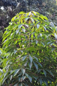 Cassava plant.