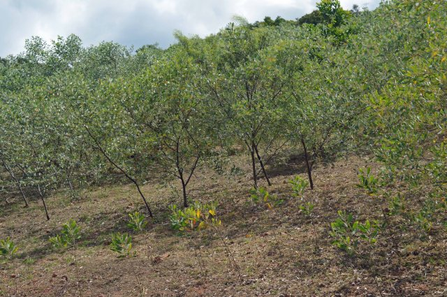 Direct seeded hillside, mostly Acacia holosericea - not self-sown seedlings downslope of the previously established plants.