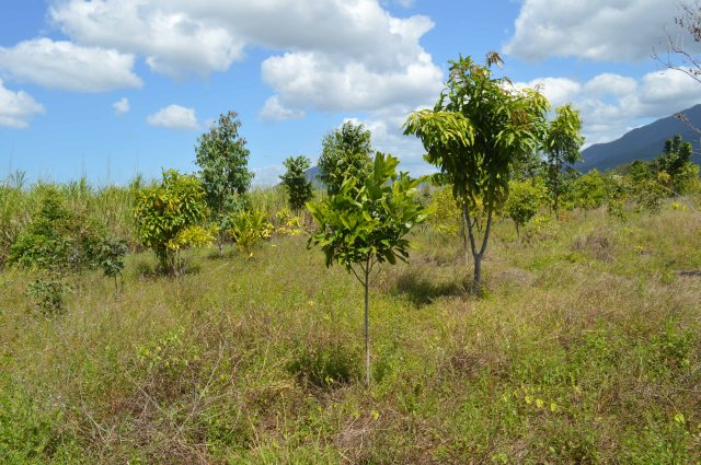 Wide spacing of plants, plus a few losses, has resulted in weed growth, which is retarding the growth of the trees in this reforestation project.