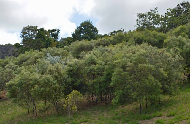 Direct seeded hillside, mostly Acacia simsii.