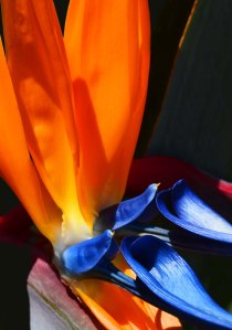 Strelitsia reginae Bird of paradise flower. photo: David Clode