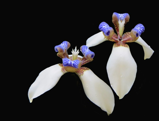 Brazilian walking iris, Neomarica gracilis. Photo: David Clode