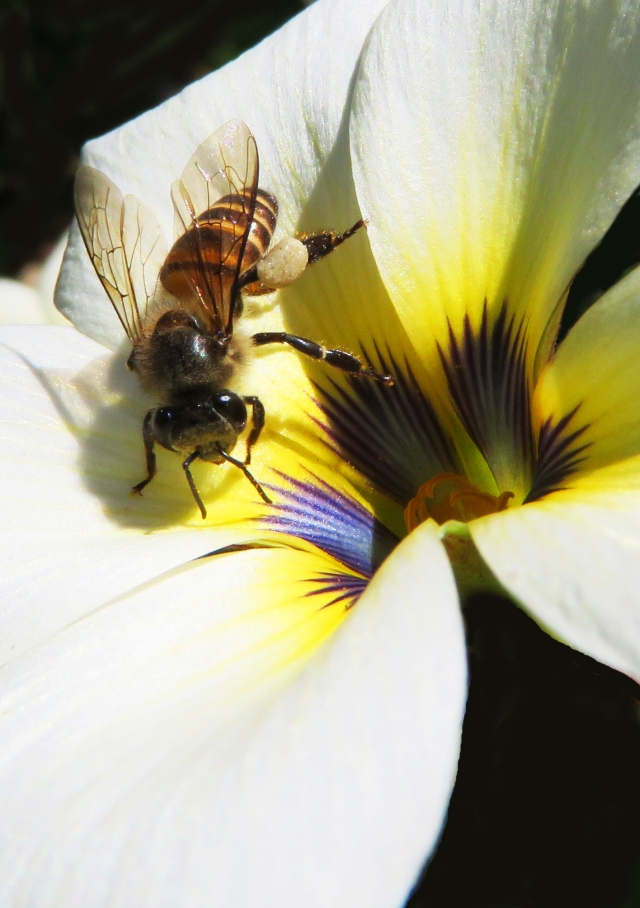 A honey bee visits a Turnera flower. Photo: David Clode.