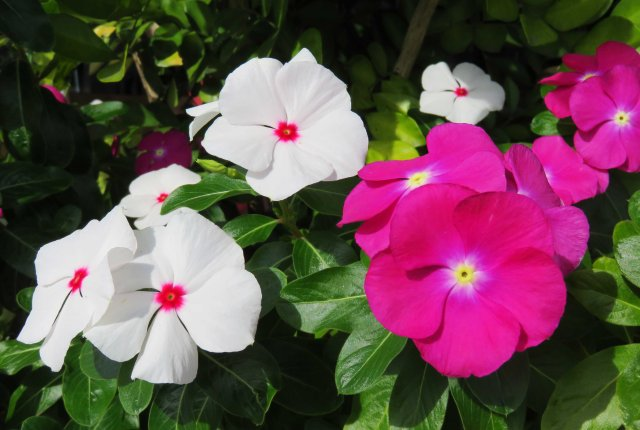 Madagascan periwinkle Catharanthus rosea (prev, Vinca rosea). This plant is also medicinal and is used in the treatment of leukemia. Photo: David Clode.