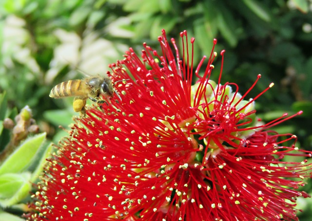 A bottlebrush flower with a honey bee.