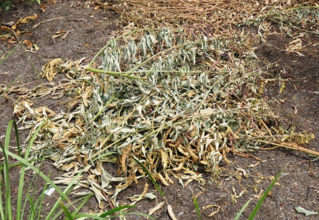 pigeon Pea prunings make a good nitrogen rich mulch. Photo: Shannon Drive, Bayview Heights.