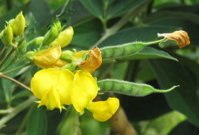 Pigeon Pea cajanus cajun flowers and developing pods. Photo: Shannon Drive, Bayview Heights, Cairns.