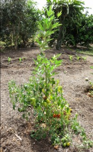 Pigeon pea being used as a support for a tomato plant. Shannon Drive,Bayview, Cairns