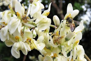 A honey bee visits Moringa flowers. Photo: Booyong Drive, forest gardens, Cairns, David Clode.