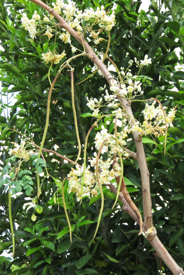 Moringa tree showing flowers and developing seed pods. Booyong Drive, Forest Gardens, cairns.