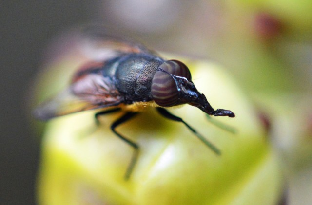 An unusual fly with a long sucking proboscis and stripey eyes (sitting on a flowerbud of a cannonball tree. Cairns Botanic gardens. photo: David Clode.