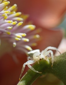 A flower spider on a cannonball tree flower, cairns botanic Gardens. Photo: David Clode.