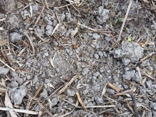 Soil structure developing beneath the mulch of Macaranga - mostly earth worm casts.