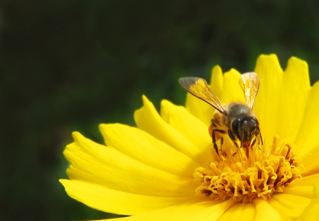 A honey bee visits a gaillardia flower. Photo: David Clode