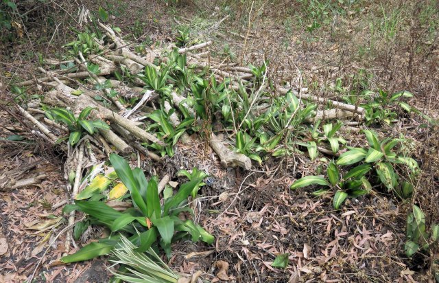 Someone has cut down a Dracaena fragrans 'massangeana' plants and dumped the stems in the bush. This is bad because it spreads weeds, but it can be seen that some plants will grow even from stems placed on the surface, at least in wet tropical regions.