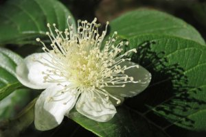 Guava flower, Psidium guajava. Where it is native, guava fruits could be fed to livestock or wildlife to disperse the seeds (it can be a weed where it is not native).