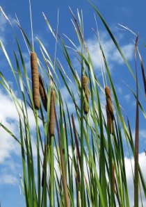 Typha spp. are found in many parts of the world and are important habitat and food plants. They can be planted around the edges and in the shallows of wetlands. They can take over in shallow wetlands.