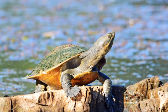 A short-necked turtle enjoys sun baking in the late afternoon sun. Freshwater Lake, Cairns. Photo: David Clode