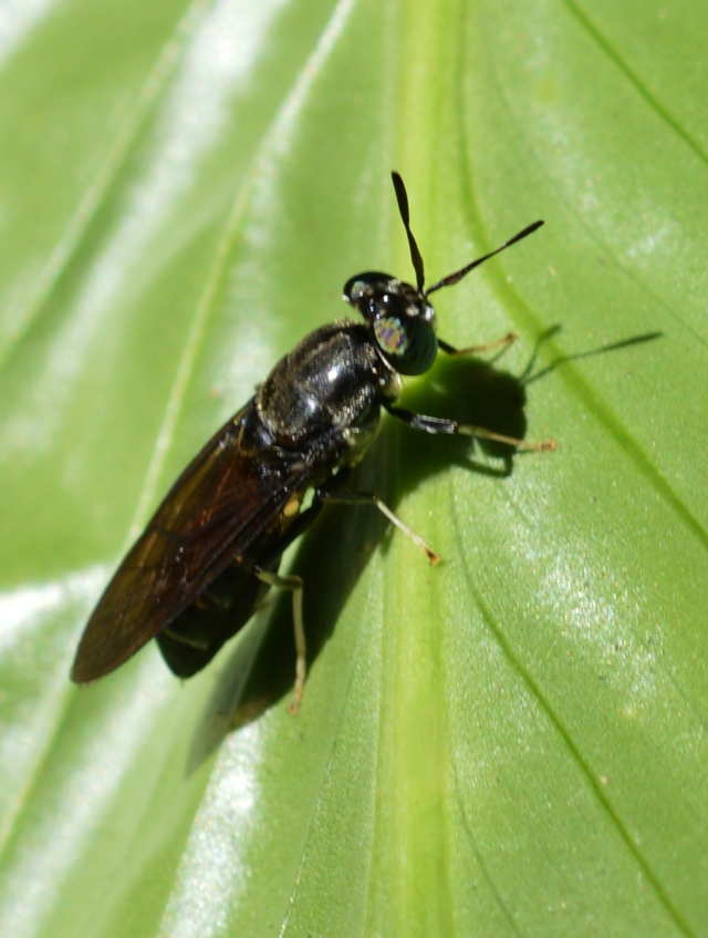 Black Soldierfly hermetia illucens. Cairns.