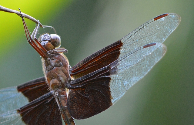 Neurothemis sp. Photo: David Clode.