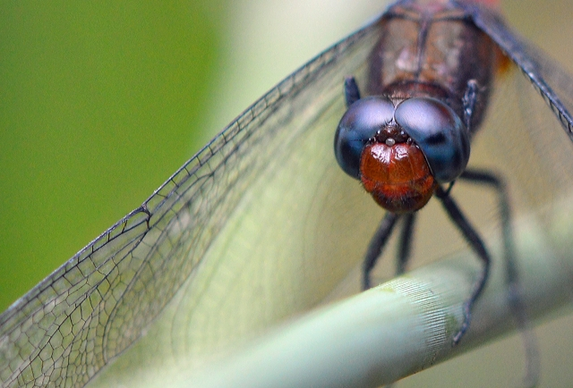 Dragonfly close up. Photo: David Clode.