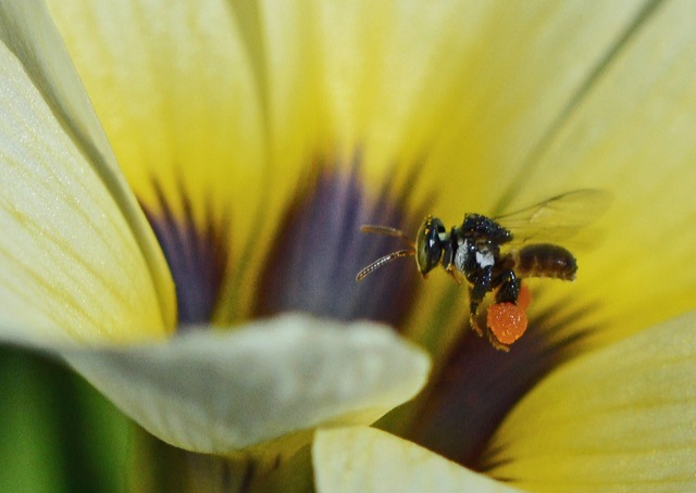A native bee laden with pollen. Photo: David Clode.