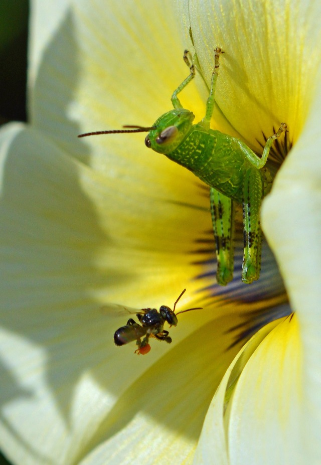 This grasshopper was in the way but it didn't stop the native bees from going around it to get to the pollen and nectar. Photo: David Clode.