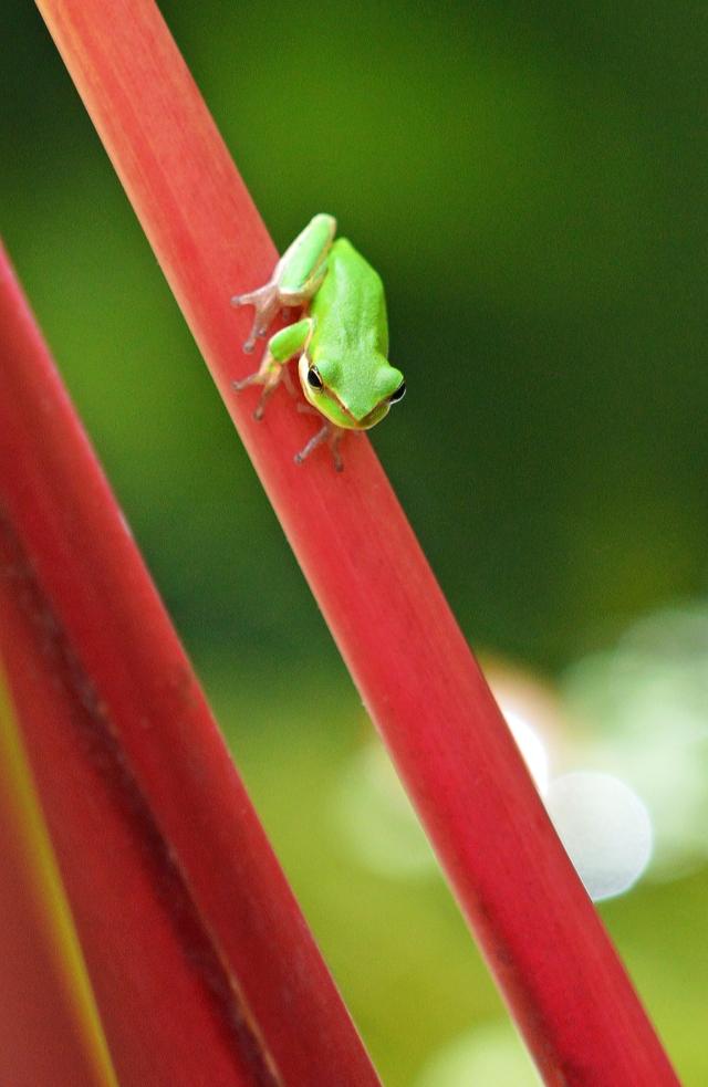 """I am not so sure. Its a long way down!"" Dwarf treefrog. Photo: David Clode."