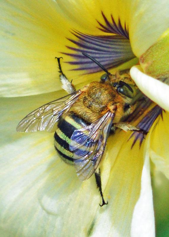 Blue-banded bee. Photo: David Clode.