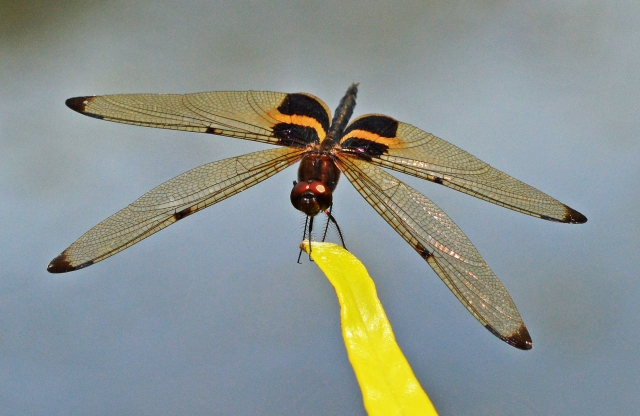 Yellow-striped flutterer dragonfly. Photo: David Clode.