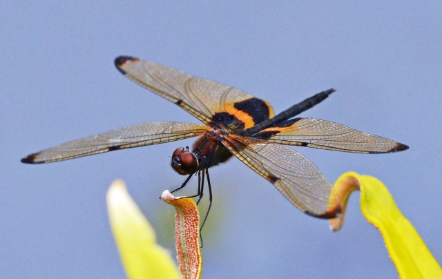 Rhyothemis phyllis. Freshwater Lake, cairns. photo: David Clode.