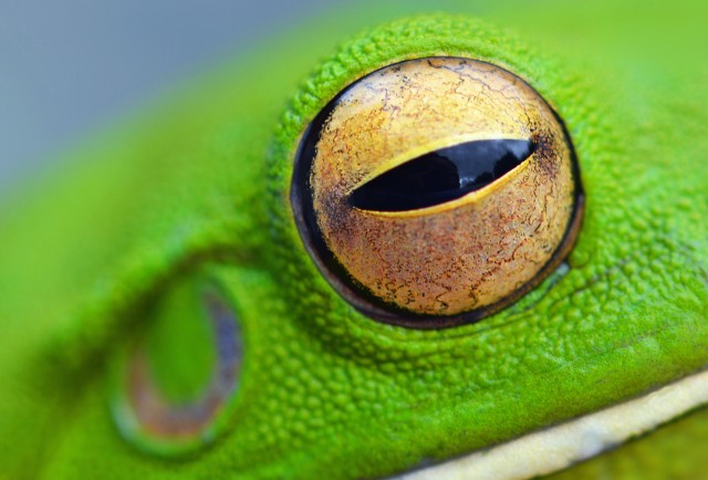 Frog eye. White-lipped tree frog Litoria infrafrenata. Photo: David Clode.