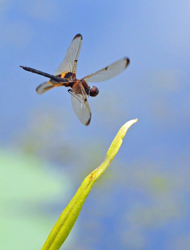 Coming in to land. Photo: David Clode.