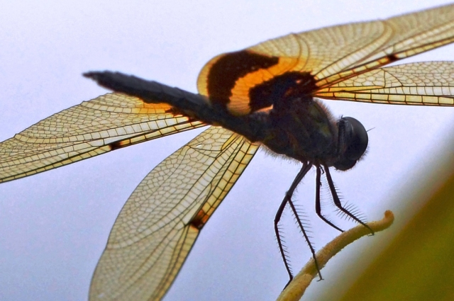 Yellow-striped Flutterer view from below. Photo: David Clode.