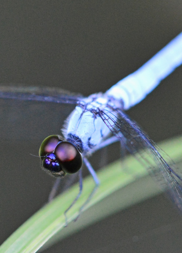 Dragonfly eyes. Photo: David Clode.