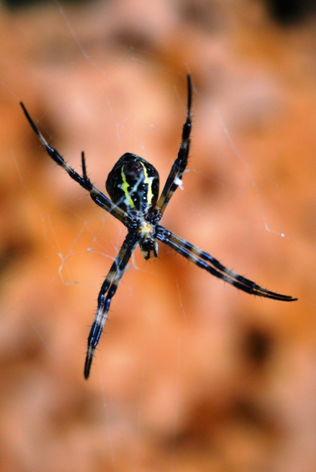 St Andrew's Cross spider.