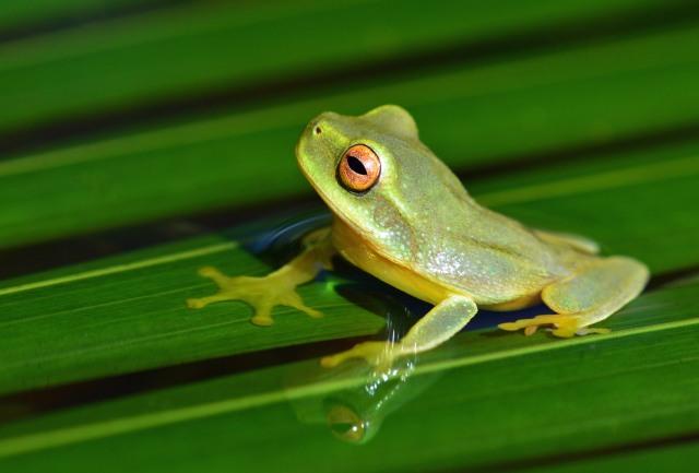 Dainty or Graceful tree frog Litoria gracilenta.