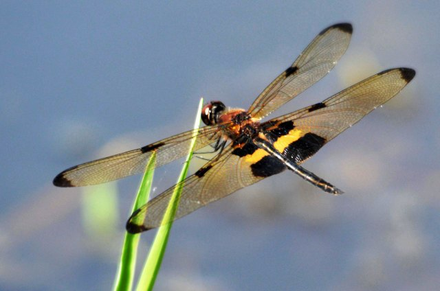 yellow-striped Flutterer Rhyothemis phyllis. Freshwater lake Cairns. photo :David Clode.